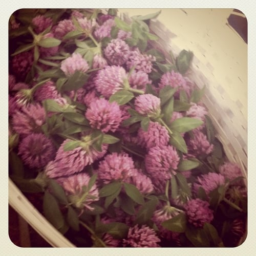 basket of red clover blossoms
