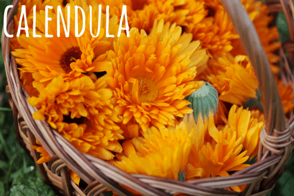 uses for calendula